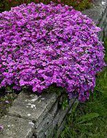 Sammalleimu Purple Beauty Sammalleimu leviää voimakkaasti ja on mainio peittokasvi. Se sopii avoimen valoisille ja kuivahkoille paikoille esim. kivikkoon, rinteeseen ja muurien päälle. Sammalleimun kaveriksi sopivat erinomaisesti maksaruohot sekä muut kivikko- ja kuivien paikkojen kasvit. Kukinta: touko-kesäkuu Kasvukorkeus: 10-15 cm Kasvupaikka: aurinkoinen, lievästi varjoinen Talvenkesto: kestävä