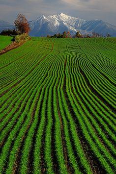 Campo de trigo de Biei, Hokkaido, Japón - Hokkaidō, conocida anteriormente como Ezo o Yezo, es la segunda isla más grande de Japón y también una de las prefecturas del país.