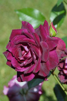 Burgundy Ice | floribunda rose | By: mimmis_garden | Flickr - Photo Sharing!