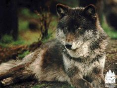 Image detail for -the eastern timber wolf is also known as the gray wolf these have ...