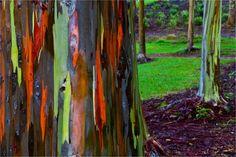 NaturalWonders7  Eucaliptos de arco-íris, na Austrália
