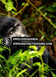 #weloveuganda We found this mountain gorilla in Bwindi impenetrable rain forest in south western Uganda right before the rain started :)