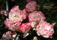 Delany Sisters Roses