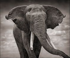 Elephant With Tattered Ears. © 2010 Nick Brandt