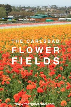 carlsbad-flower-fields