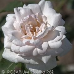 alfred-carriere1 Rose, Flowers, Plants, Pink, Plant, Roses, Royal Icing Flowers, Flower, Florals