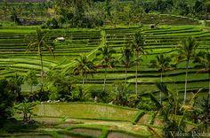 Bali, rizières de Jatiluwih