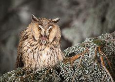Long-eared Owl by Robert Adamec