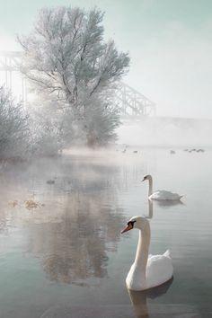Graceful swans on winter lake Beautiful Birds, Beautiful World, Beautiful Places, Beautiful Pictures, Wild Life, Swans, Swan Pictures, Winter Photos, Tier Fotos