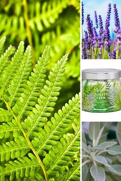Forest Fern - Dew drenched green fern and earthy vetiver wood mingle with herbaceous notes of lavender and wild sage creating a lush fresh fragrance