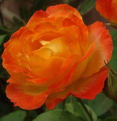 I normally don't like orange but this orange hybrid rose is beautiful.
