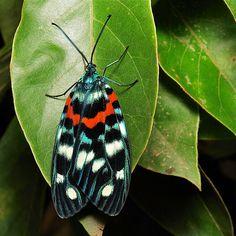 Zygaenid Day-flying Moth (Erasmia pulchella, Chalcosiinae, Zygaenidae)