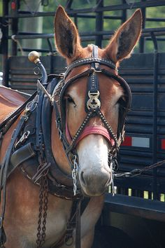East Tennessee Draft Horse and Mule Owner's Association . All The Pretty Horses, Beautiful Horses, Animals Beautiful, Farm Animals, Animals And Pets, Cute Animals, Mules Animal, Draft Mule, Work With Animals