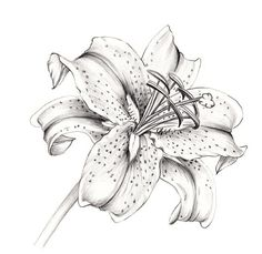 Rocky Mountain Society of Botanical Artists: A Drawing a Day 22                                                                                                                                                      More