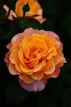 """Rose """"Seventh Heaven"""" - Registration name: Fryfantasy - Apricot - orange - Floribunda - Strong fragrance - Bred by Gareth Fryer (United Kingdom, 2003)."""