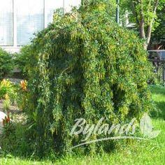 Weeping Caragana - Caragana arborescens 'Pendula' | Bylands Nurseries Ltd.