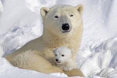 SOUND: http://www.ruspeach.com/en/news/10235/     Ежегодно 27 февраля празднуется Международный день полярного медведя. В этот день различные экологические организации проводят мероприятия посвященные такому величественному животному как белый медведь и рассказывают о необходимо�