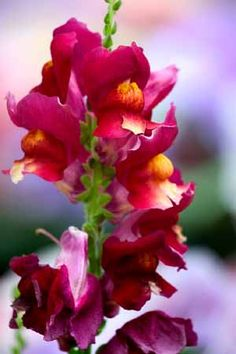 Grow in full sun. Space tall varieties 12 inches apart, small varieties 6 inches apart. Pinch tips of young plants to encourage branching. For cool season bloom, plant snapdragons in September.