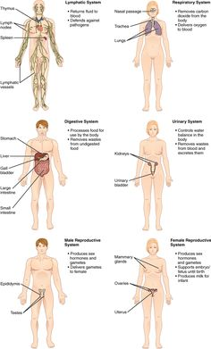 Organ systems of the human body II