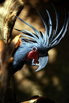 Palm Cockatoo Australia.