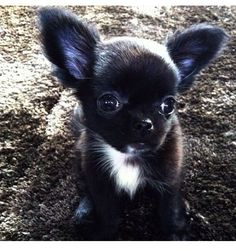 Effective Potty Training Chihuahua Consistency Is Key Ideas. Brilliant Potty Training Chihuahua Consistency Is Key Ideas. Chihuahua Love, Chihuahua Puppies, Cute Puppies, Cute Dogs, Dogs And Puppies, Doggies, Black Chihuahua, Cute Animal Pictures, Dog Pictures