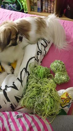 Koirani mielipide langoistani! What my dog things about my yarn! :-D