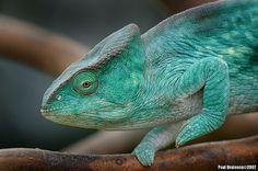 Parson's Chameleon   Flickr - Photo Sharing!