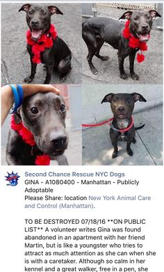 SAFE❤️❤️ 7/18/16 BY SECOND CHANCE RESCUE❤️ THANK YOU❤️ Manhattan Center GINA – A1080400 FEMALE, BLACK, AM PIT BULL TER, 1 yr STRAY – ONHOLDHERE, HOLD FOR ID Reason STRAY Intake condition EXAM REQ Intake Date 07/08/2016, From NY 10037, DueOut Date 07/11/2016, I came in with Group/Litter #K16-064649