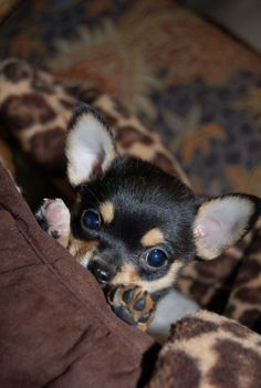Chihuahua Puppies, Teacup Chihuahua, Cute Puppies, Cute Dogs, Dogs And Puppies, Apple Head Chihuahua, Baby Animals, Cute Animals, Little Dogs