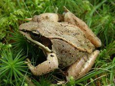 North American Wood Frog (Rana sylvatica)