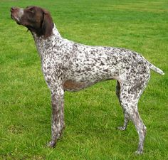 German Shorthaired Pointer - Domestic Dog Breeds Reference Library - redOrbit, #cafepressfathersday