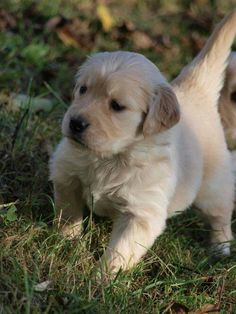 Dog - Golden Retriever - Bono on www.yummypets.com