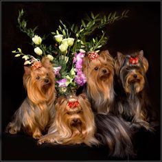 Four, Yorkshire terrier photo. Wish my three girls (and the old man) would sit still long enough for this!