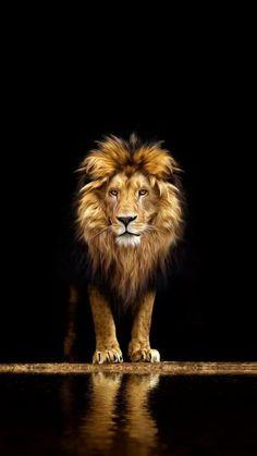 Lion Wallpaper Iphone, Animal Wallpaper, Lion Images, Lion Pictures, Lion And Lioness, Lion Of Judah, Lion King Art, Lion Art, Animals Beautiful