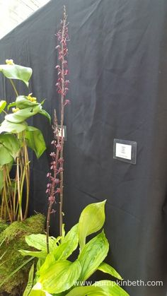 Liparis nigra 'Clare', grown by Akerne Orchids, on display at the RHS London Orchid Show 2016.