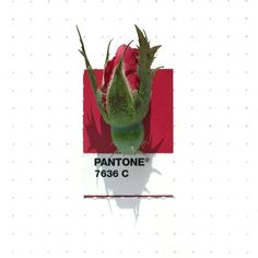 Pantone 7636 color match. Red Knockout Rose bud from the backyard. It can thrive…