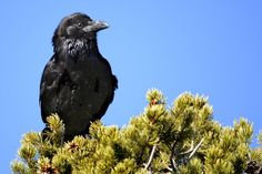Ravens can imagine being spied on, a level of paranoia once thought unique to humans