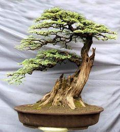 Миниатюрные деревья бонсай