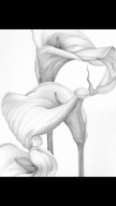 Flora I — Jeannine Cook Flower Art Drawing, Lilies Drawing, Pencil Drawings Of Flowers, Realistic Pencil Drawings, Floral Drawing, Flower Sketches, Graphite Drawings, Pencil Art Drawings, Art Drawings Sketches
