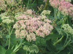 """Fette Henne"" = Galinha gorda, hihiiiii. Fett, Plants, Flowers, Flora, Plant, Planting"