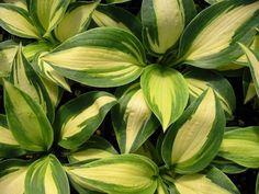 Hosta /'Guacamole/' Plantain lily 9cm Pot Please Read Description