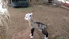 An Arizona petting zoo is now home to Butterfly, a healthy but rare sheep-goat hybrid.
