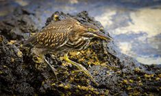 Lava heron (Butorides sundevalli), also known as the Galapagos heron, is a well-camouflaged wading bird found along the shores of the islands in the Archipelago. Photo: juvenile