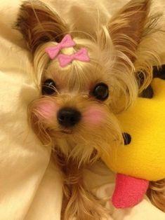 I'm cuter than my ducky right? Found at:http://bit.ly/2fGwxuS   Found at: https://itsayorkielife.com/im-cuter-than-my-ducky-right/  #Yorkie,#YorkshireTerrier,#Yorkielove,#ItsaYorkieLife