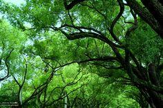 20140916【中興新村第四天:遮天綠蔭】 這裡有條街的兩旁都是又高又密的大樹, 相連一氣,遮蔽了濃夏的豔陽, 行走其間,非常舒服,越來越羨慕此地的居民了>/////<