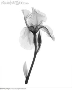 An X-ray of an iris flower