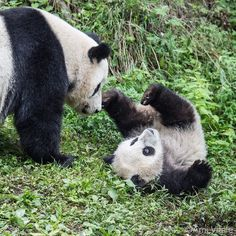 Playful pandas 🐼🐼 ©Photo by: Panda Bebe, Cute Panda, Panda Panda, Photo Panda, Animals And Pets, Baby Animals, Baby Panda Bears, Super Cute Animals, Happy Mothers Day
