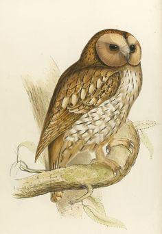vintage owl illustration from John Gould