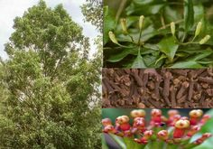 Clove Tree (Syzygium Aromaticum) - Zone 11, Full Sun. Evergreen tree 26'-40' native to Indonesia, with large leaves & flowers in terminal clusters. Buds are first pale, gradually turn green, then transition to a bright red when ready for harvest. The buds (aka cloves) are commonly used as a spice, but they have been known to be used for: An ant or mosquito repellent, toothache pain, and many other purported uses. Propagate by cuttings.