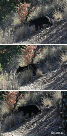 Trio of black bear cubs crossing the trail. Big Bend National Park. Photography by: Tim Speer
